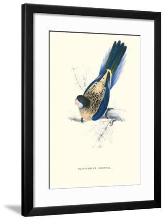 Brown's Parakeet - Platycercus Venustus-Edward Lear-Framed Art Print