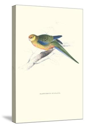 Stanley Parakeet Young Male - Platycercus Icterotis-Edward Lear-Stretched Canvas Print