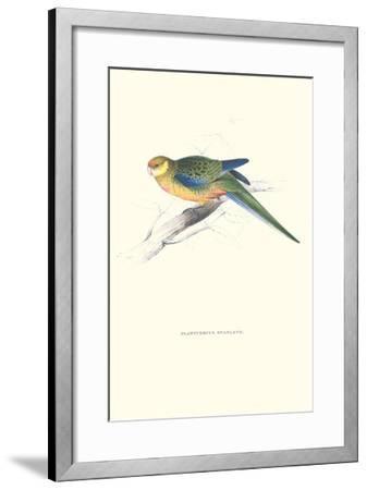 Stanley Parakeet Young Male - Platycercus Icterotis-Edward Lear-Framed Art Print