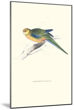 Stanley Parakeet Young Male - Platycercus Icterotis-Edward Lear-Mounted Art Print