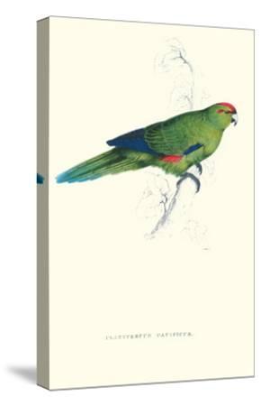 Pacific Parakeet - Cyanorhamphus Novaevelandiae-Edward Lear-Stretched Canvas Print