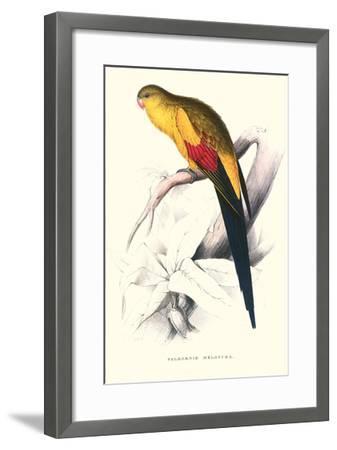 Black Tailed Parakeet(Male) - Polypelis Anthopeplus-Edward Lear-Framed Art Print