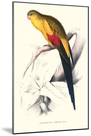 Black Tailed Parakeet(Male) - Polypelis Anthopeplus-Edward Lear-Mounted Art Print