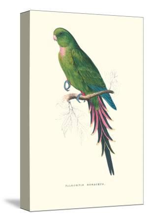 Roseate Parakeet - Polytelis Swainsoni-Edward Lear-Stretched Canvas Print
