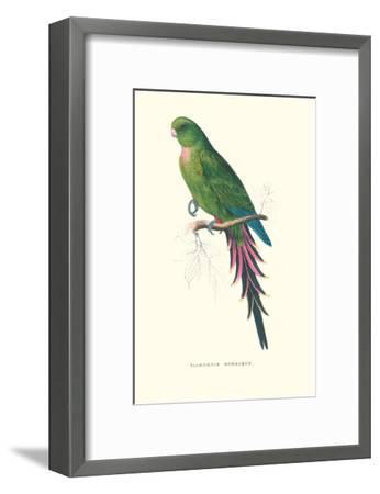 Roseate Parakeet - Polytelis Swainsoni-Edward Lear-Framed Art Print