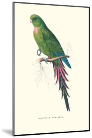 Roseate Parakeet - Polytelis Swainsoni-Edward Lear-Mounted Art Print