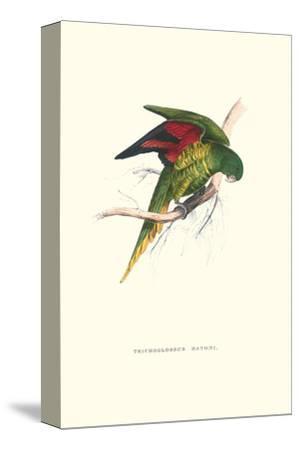 Lesser Maton's Parakeet -Trichoglossus Haematodus-Edward Lear-Stretched Canvas Print