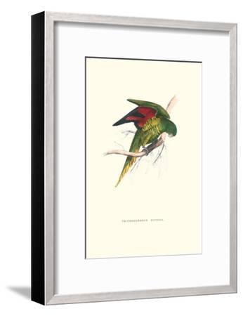 Lesser Maton's Parakeet -Trichoglossus Haematodus-Edward Lear-Framed Art Print