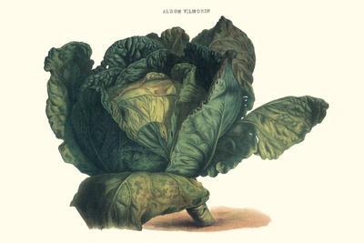 Cabbage-Philippe-Victoire Leveque de Vilmorin-Stretched Canvas Print