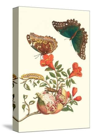 Pomegranate and Butterflies-Maria Sibylla Merian-Stretched Canvas Print