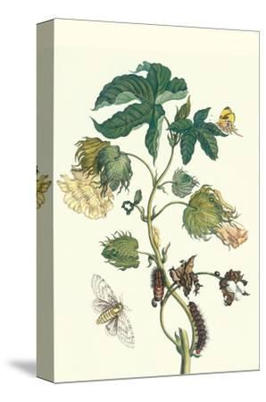 Contton Plant, Moths and Butterflies-Maria Sibylla Merian-Stretched Canvas Print