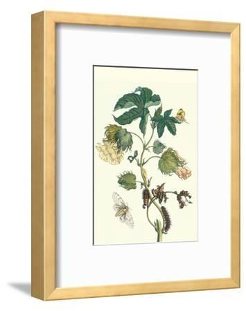 Contton Plant, Moths and Butterflies-Maria Sibylla Merian-Framed Premium Giclee Print