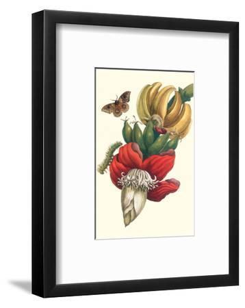 Banana Tree and Moths-Maria Sibylla Merian-Framed Premium Giclee Print
