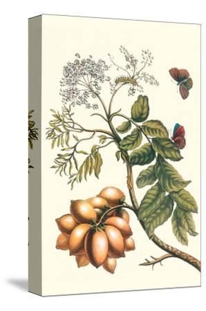 Butterfly on a Spanish Plum-Maria Sibylla Merian-Stretched Canvas Print