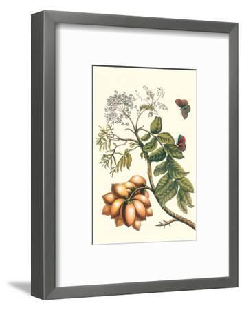 Butterfly on a Spanish Plum-Maria Sibylla Merian-Framed Premium Giclee Print
