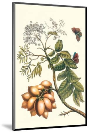 Butterfly on a Spanish Plum-Maria Sibylla Merian-Mounted Premium Giclee Print