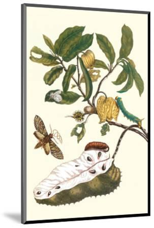 Custard Apple and Flower Moth-Maria Sibylla Merian-Mounted Premium Giclee Print