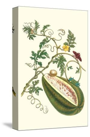 Watermelon and Slug Moth-Maria Sibylla Merian-Stretched Canvas Print
