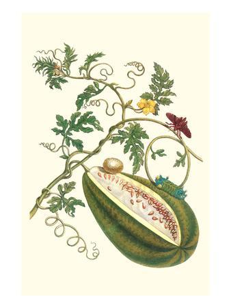Watermelon and Slug Moth-Maria Sibylla Merian-Premium Giclee Print