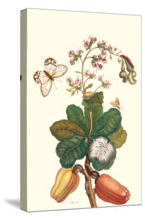 Moth on Cashew Apple-Maria Sibylla Merian-Stretched Canvas Print