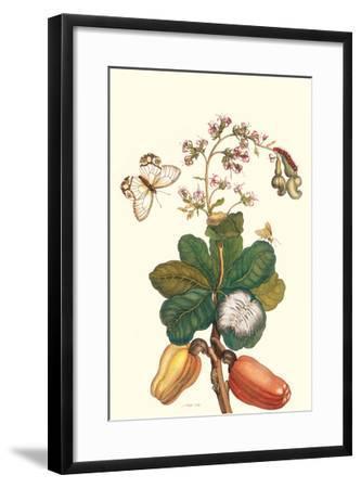 Moth on Cashew Apple-Maria Sibylla Merian-Framed Art Print