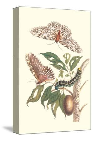 Limbo Tree with Owlet Moth-Maria Sibylla Merian-Stretched Canvas Print