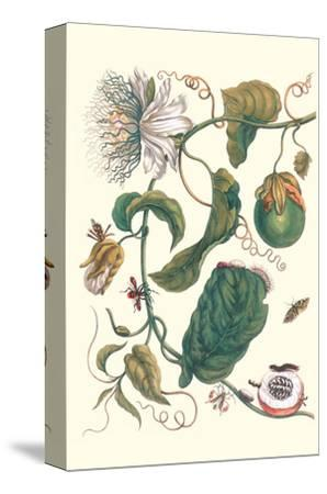 Passion Flower with Leaf-Footed Plant Bug-Maria Sibylla Merian-Stretched Canvas Print