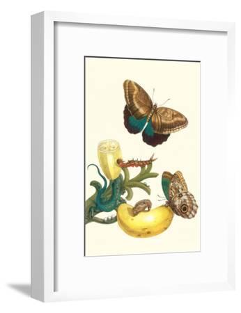 Banana Plant with Teucer Giant Owl Butterfly and a Rainbow Whiptail Lizard-Maria Sibylla Merian-Framed Art Print