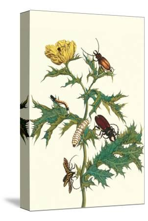 Mexican Prickly Poppy a Longhorned Beetle and an Elateridae Beetle Larva-Maria Sibylla Merian-Stretched Canvas Print