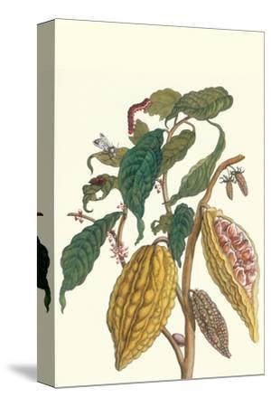 Cocoa Plant with Southern Army Worm-Maria Sibylla Merian-Stretched Canvas Print
