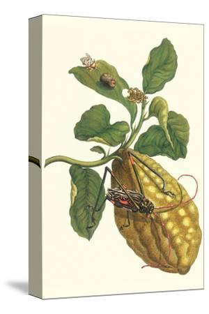 Citron with Monkey Slug and a Harlequin Beetle-Maria Sibylla Merian-Stretched Canvas Print