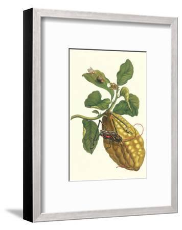 Citron with Monkey Slug and a Harlequin Beetle-Maria Sibylla Merian-Framed Premium Giclee Print