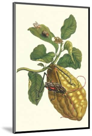 Citron with Monkey Slug and a Harlequin Beetle-Maria Sibylla Merian-Mounted Premium Giclee Print