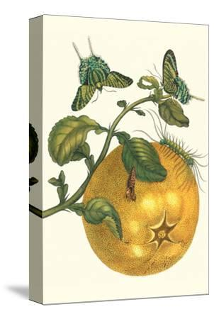 Pomelo Fruit with Urania Moth-Maria Sibylla Merian-Stretched Canvas Print