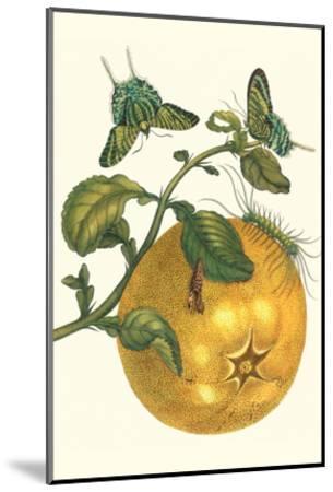 Pomelo Fruit with Urania Moth-Maria Sibylla Merian-Mounted Art Print