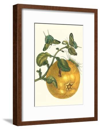 Pomelo Fruit with Urania Moth-Maria Sibylla Merian-Framed Art Print