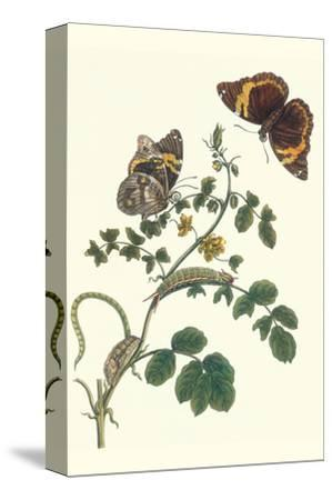 Coffee with Split-Banded Owlet Butterfly-Maria Sibylla Merian-Stretched Canvas Print
