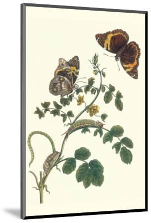 Coffee with Split-Banded Owlet Butterfly-Maria Sibylla Merian-Mounted Premium Giclee Print