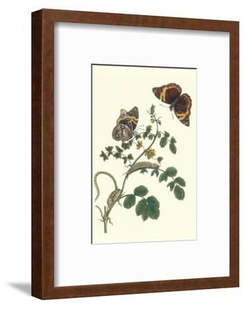 Coffee with Split-Banded Owlet Butterfly-Maria Sibylla Merian-Framed Premium Giclee Print