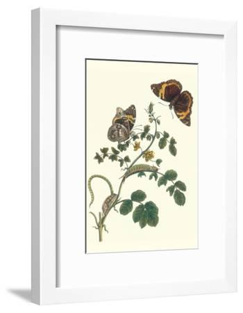 Coffee with Split-Banded Owlet Butterfly-Maria Sibylla Merian-Framed Art Print