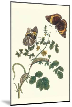 Coffee with Split-Banded Owlet Butterfly-Maria Sibylla Merian-Mounted Art Print