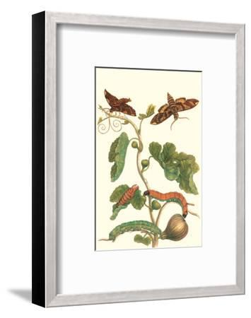 Fig Tree with Fig Sphinx-Maria Sibylla Merian-Framed Premium Giclee Print