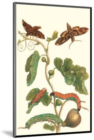 Fig Tree with Fig Sphinx-Maria Sibylla Merian-Mounted Premium Giclee Print