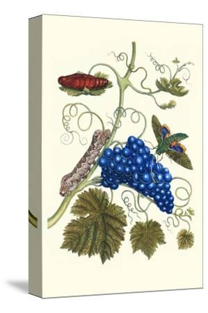 Grapevine with Gaudy Spinx Moth-Maria Sibylla Merian-Stretched Canvas Print
