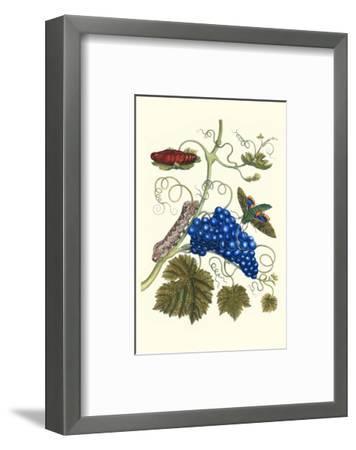 Grapevine with Gaudy Spinx Moth-Maria Sibylla Merian-Framed Premium Giclee Print