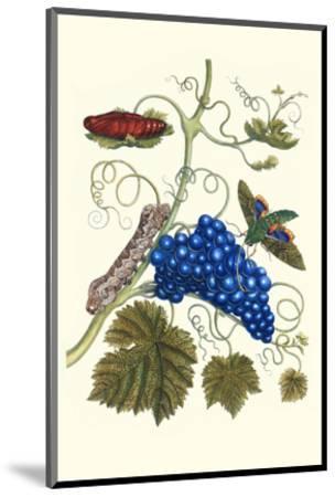 Grapevine with Gaudy Spinx Moth-Maria Sibylla Merian-Mounted Premium Giclee Print