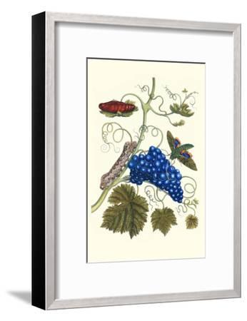 Grapevine with Gaudy Spinx Moth-Maria Sibylla Merian-Framed Art Print