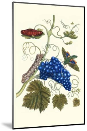 Grapevine with Gaudy Spinx Moth-Maria Sibylla Merian-Mounted Art Print