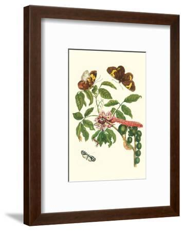 Leguminous Plant with a Sophorae Owl Caterpillar and an Aegle Clearwing Butterfly-Maria Sibylla Merian-Framed Premium Giclee Print