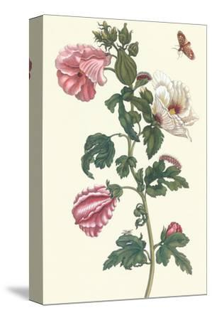 Roselle with Fall Webworm-Maria Sibylla Merian-Stretched Canvas Print
